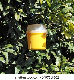 Yellow plastic container used as a pheromone trap for biological control of pests in orange and lemon trees