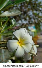 yellow plumeria flower