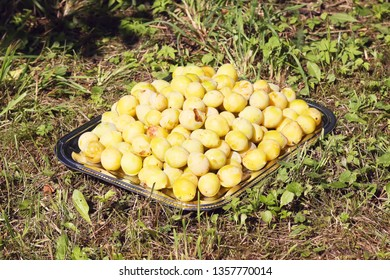 Yellow plums. Fresh sweet ripe and overripe fruits ina tray on green summer grass in the country garden