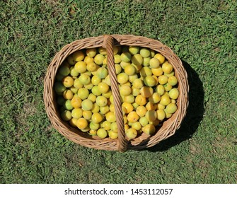 Yellow plums freshly picked in a wicker basket on the grass
