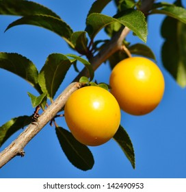Yellow plums hanging from the tree