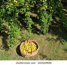 Yellow plums in a wicker basket on the grass under the branches of the tree from which they have been picked