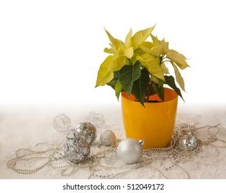 Yellow Poinsettia  (Euphorbia pulcherrima) and  Christmas decorations
