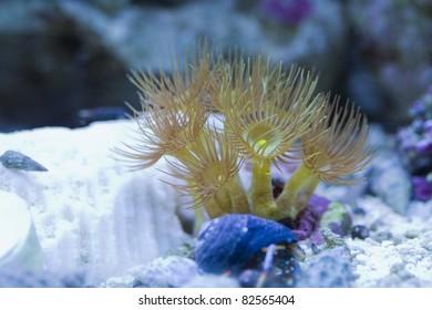 Yellow polyps in a reef tank.