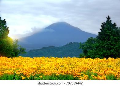 Yellow poppies against the backdrop of Mount Daisen, Japan. Tottori Hanakairo flower park. August 2017