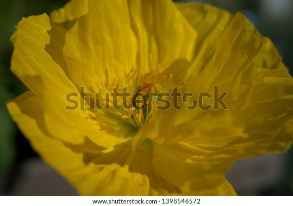 yellow poppy in the sunshine