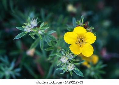Yellow Potentilia Fruticosa( Shrubby Cinquefoil) blossom. Close up.