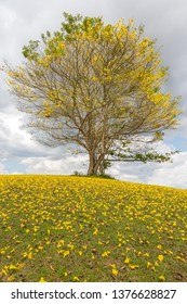 Yellow Poui Tree and carpet of yellow flowers in Jamaica