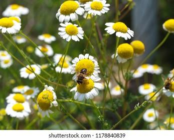 yellow prairie daisies. honey bee pollen collecting