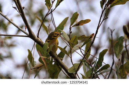 Yellow Prairie warbler Setophaga discolor in a tree in the swamp of Corkscrew Sanctuary Swamp in Naples, Florida