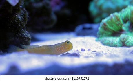 Yellow Prawn Goby (Cryptocentrus cinctus)