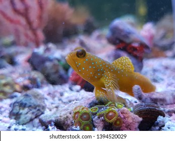 The Yellow Prawn Goby is also known as the Yellow Watchman Prawn, or Yellow Shrimp Goby, was first discovered in 1936 by Herre. The head and body are yellow-orange with bright blue spots on the head