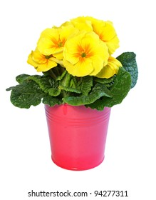 Yellow primrose in a pink metal pot isolated on white.