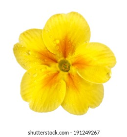 Yellow Primula Primrose with dew drops isolated white background