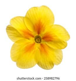 Yellow Primula Primrose isolated white background