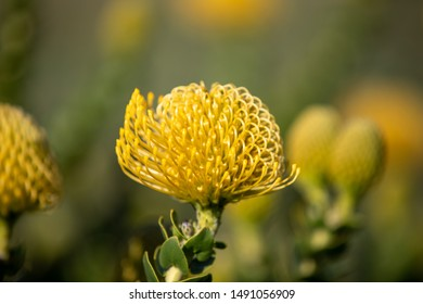 yellow Protea at the Western Cape