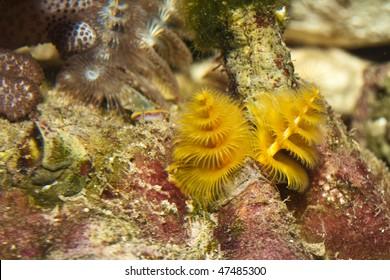 Yellow Protula Worm (Protula bispiralis)