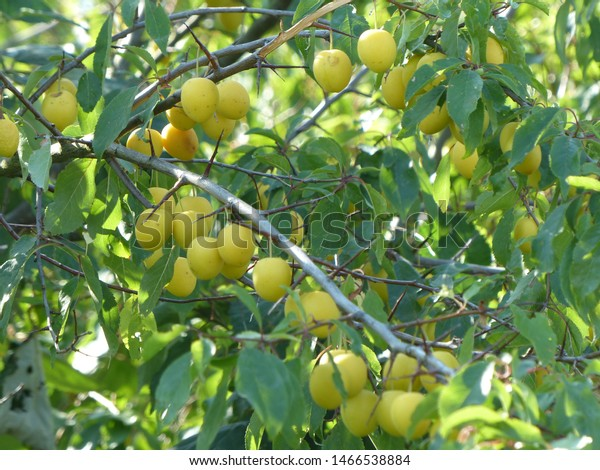 Yellow Prunus Cerasifera Species Plum Known Stock Photo Edit Now