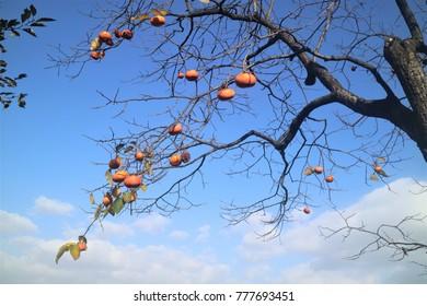 Yellow pumpkin hanging on the tree.