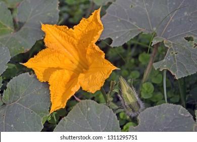 yellow pumpking flower in nature