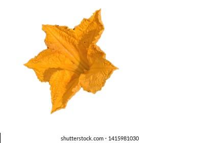yellow pumpking flower in white background