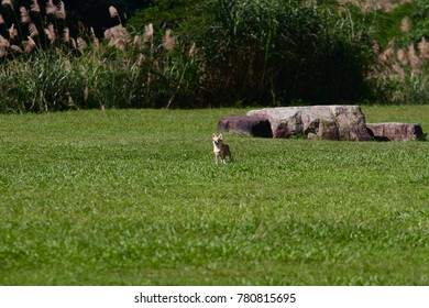 The yellow puppy ( Chihuahua dog ) is running on grass filed on a sunny day.