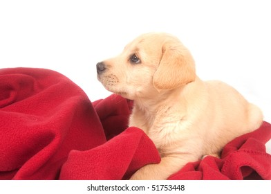 Yellow puppy laying on a red blanket on white background