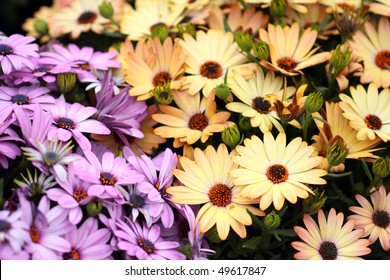 Yellow and purple African daisies, AKA osteospermum