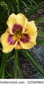 yellow and purple daylily