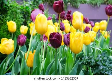 Yellow and Purple Tulip Garden