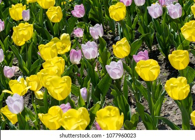 Yellow and purple tulips on sunlit field