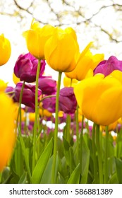 Yellow and purple tulips in spring