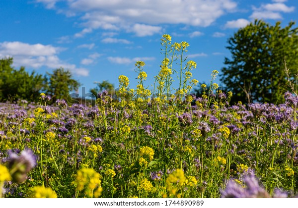 Yellow and purple wildflowers. Pasture near the forest. Wild vegetation. Relaxing in the fresh air. Under the blue sky. Field weeds. Areas outside the city.