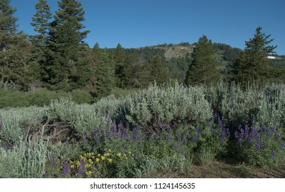 Yellow and purple wildflowers surrounded by sagebrush in front of pine trees and a mountain.