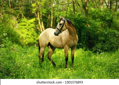 yellow Quarter horse buckskin with black mane and tail standing in green forest background