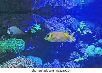 yellow rabbit fish swimming around reef