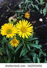 Yellow Ragwort flowers, Common names: Jacobaea vulgaris, Senecio jacobaea, Tansy Ragwort, Benweed, St. James-wort, Ragweed, Stinking Nanny, is a very common wild flower in the family Asteraceae.