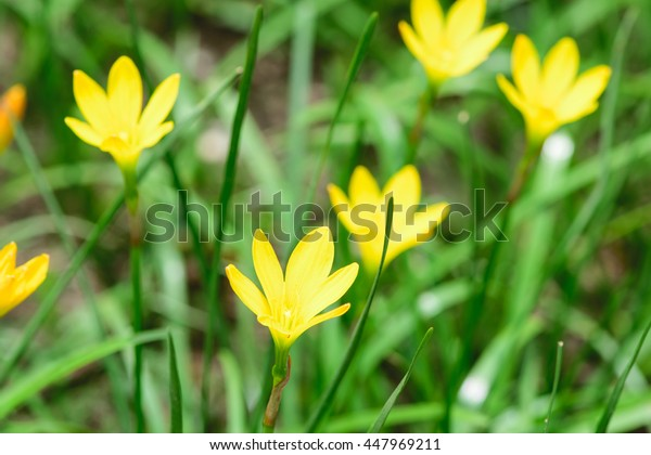 Yellow rain lily, Zephyranthes, flower meadow
