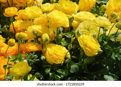 Yellow Rananculus flora. A blossomed flower with detailed petals shot, potted plant