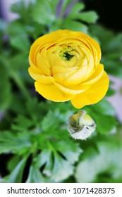 Yellow Ranunculus Flower and Bud