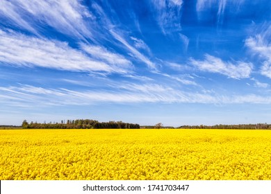 A yellow rape field next to trees under a blue sky with white clouds