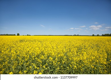 Yellow rape field under the blue sky