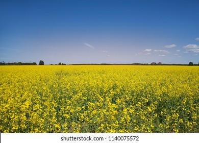 Yellow rape field under the blue sky