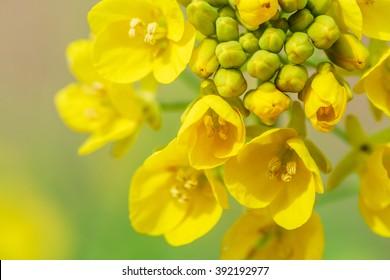 Yellow rape flower bloom in farmland