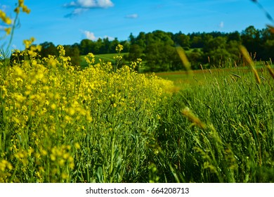 Yellow rape to the left and green grass to the right and a blue sky in the background