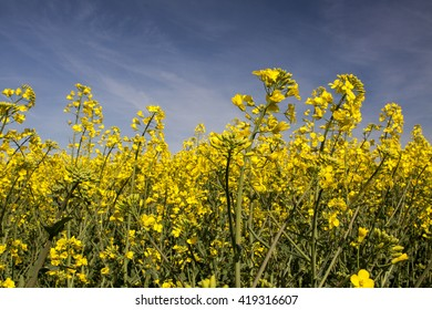 Yellow rape on blue sky.