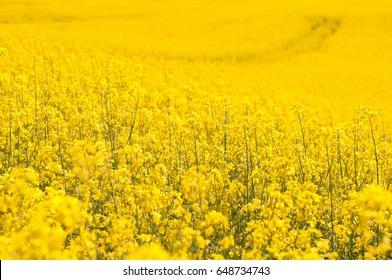 yellow Rapeseed field background. Field of bright yellow rapeseed in spring. Rapeseed, Brassica napus, oil seed rape