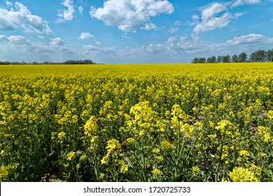 Yellow rapeseed field blooms in spring