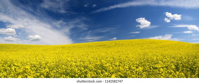 yellow rapeseed field in Latvia