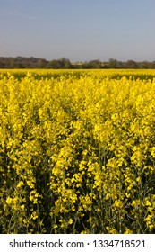 Yellow Rapeseed field in the spring with distant trees Oakley Hampshire